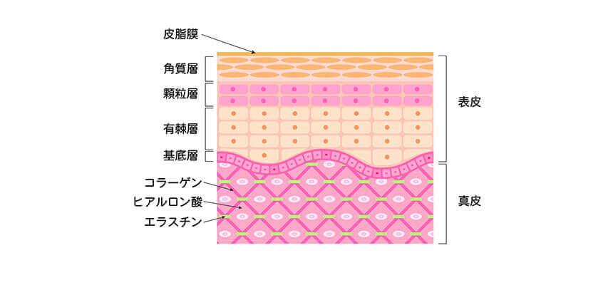 階層に分かれている皮膚の構造